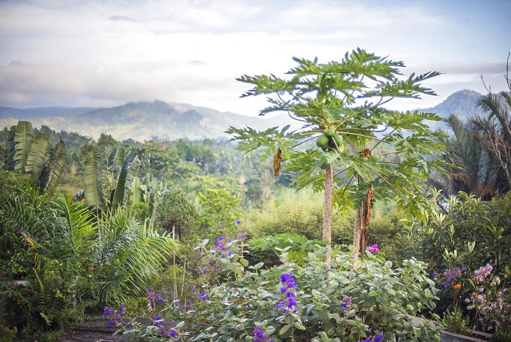 Papaya tree, Ranomafana, Madagascar Central Highlands, Madagascar, Africa