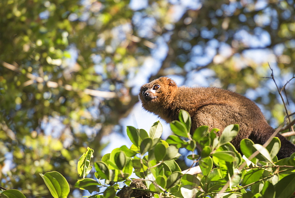 Red bellied lemur (Eulemur Rubriventer), Ranomafana National Park, Madagascar Central Highlands, Madagascar, Africa