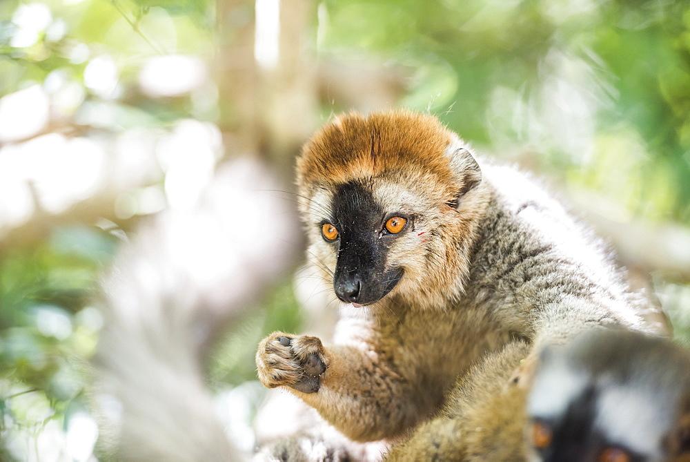 Red-fronted lemur (Eulemur Rufifrons), Isalo National Park, Ihorombe Region, Southwest Madagascar, Africa