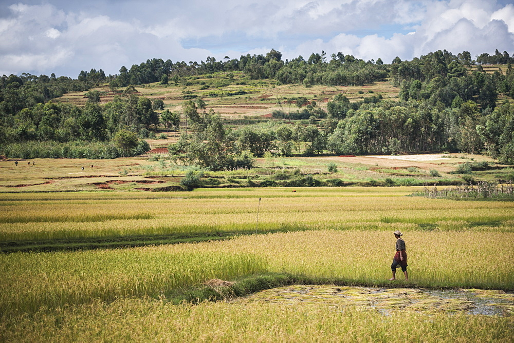 Lady in rice paddy fields on RN7 (Route Nationale 7) near Ambatolampy in the Central Highlands, Madagascar, Africa