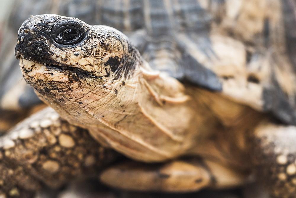 Radiated tortoise (Astrochelys radiata), Madagascar Central Highlands, Madagascar, Africa