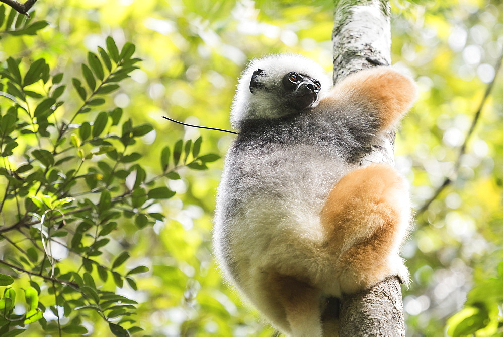Diademed sifaka (Propithecus diadema), a large lemur in Perinet Reserve, Andasibe-Mantadia National Park, Eastern Madagascar, Africa