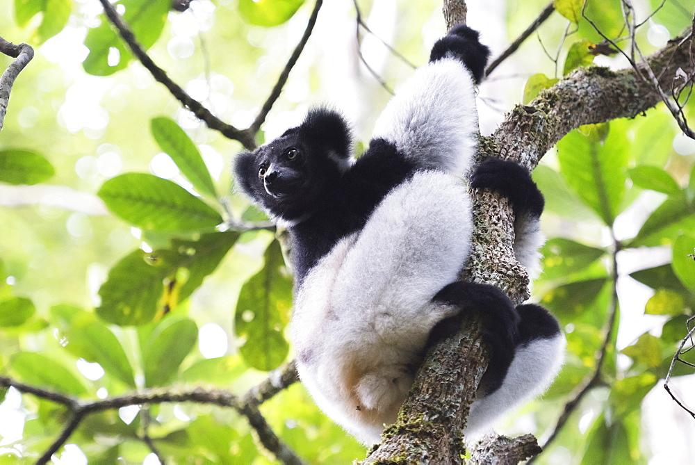 Indri (Babakoto) (Indri Indri), a large lemur in Perinet Reserve, Andasibe-Mantadia National Park, Eastern Madagascar, Africa