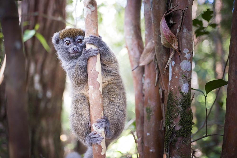 Lac Alaotra bamboo lemur (Hapalemur alaotrensis), Lemur Island, Andasibe, Eastern Madagascar, Africa