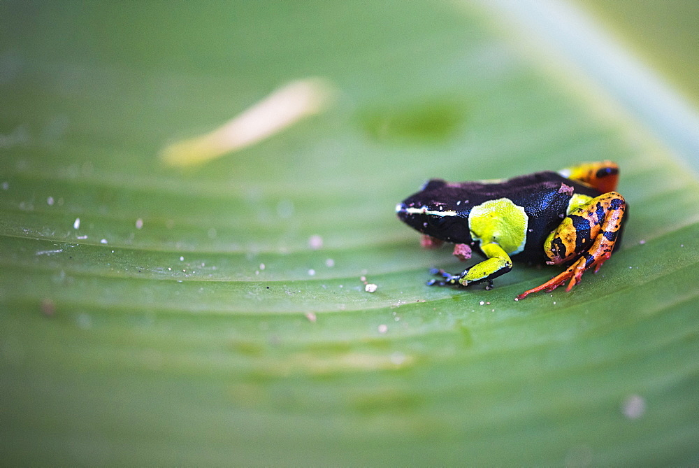 Mantella baroni, a frog endemic to Madagascar, Africa