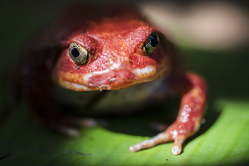 Close-up of a Madagascar tomato frog (Dyscophus antongilii), endemic to Madagascar, Africa