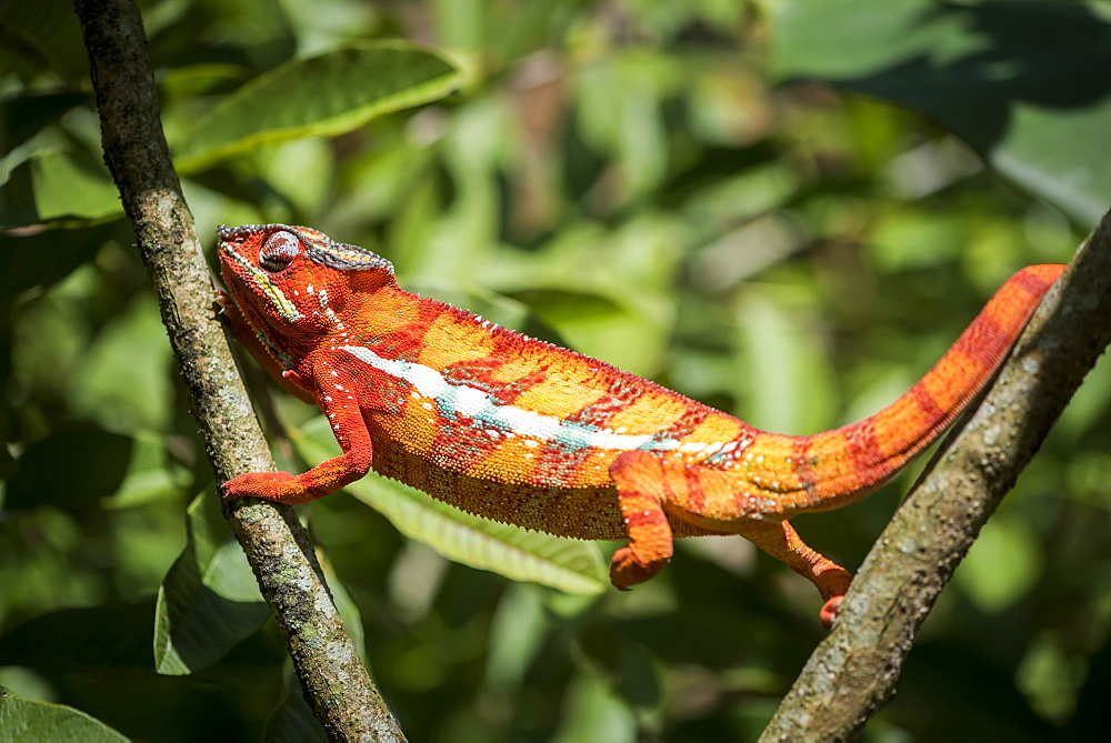 Red panther chameleon (Furcifer pardalis), endemic to Madagascar, Africa