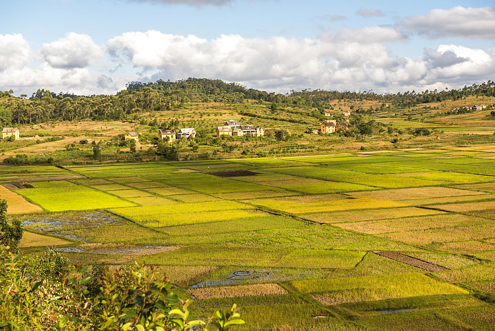 Paddy rice field landscape in the Madagascar Central Highlands near Ambohimahasoa, Haute Matsiatra Region, Madagascar, Africa