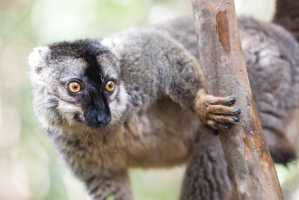 Common brown lemur (Eulemur fulvus), Lemur Island, Andasibe National Park, Madagascar, Africa