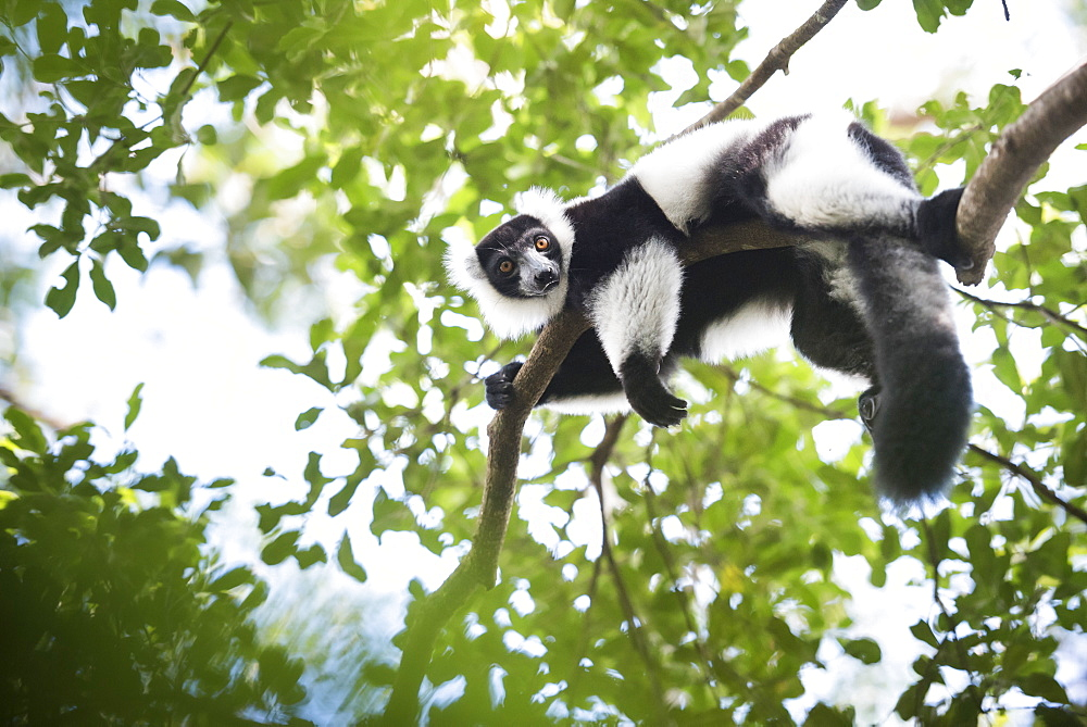 Black and white ruffed lemur (Varecia variegata), endemic to Madagascar, seen on Lemur Island, Andasibe National Park, Madagascar, Africa