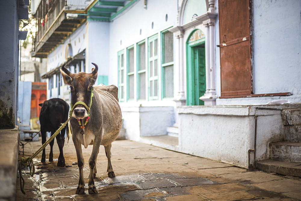 Cow on the streets of Varanasi, Uttar Pradesh, India, Asia