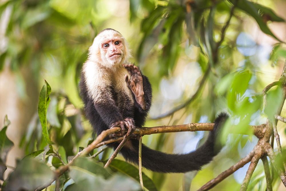 White-faced Capuchin (Cebus capucinus) by Manuel Antonio Beach, Manuel Antonio National Park, Costa Rica, Central America