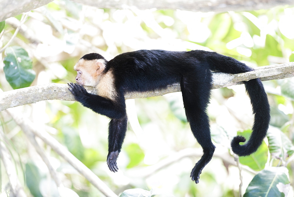 White-faced Capuchin (Cebus capucinus) by Manuel Antonio Beach, Manuel Antonio National Park, Costa Rica, Central America - 1109-3318