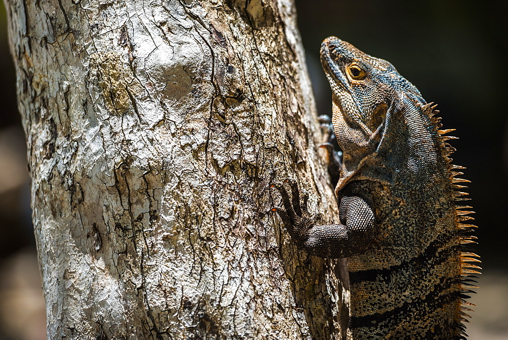 Black Spiny Tailed Iguana Lizard (Ctenosaura similis), Manuel Antonio National Park Beach, Pacific Coast, Costa Rica, Central America