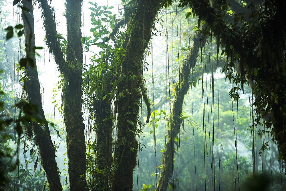 Misty Monteverde Cloud Forest Reserve, Puntarenas, Costa Rica, Central America