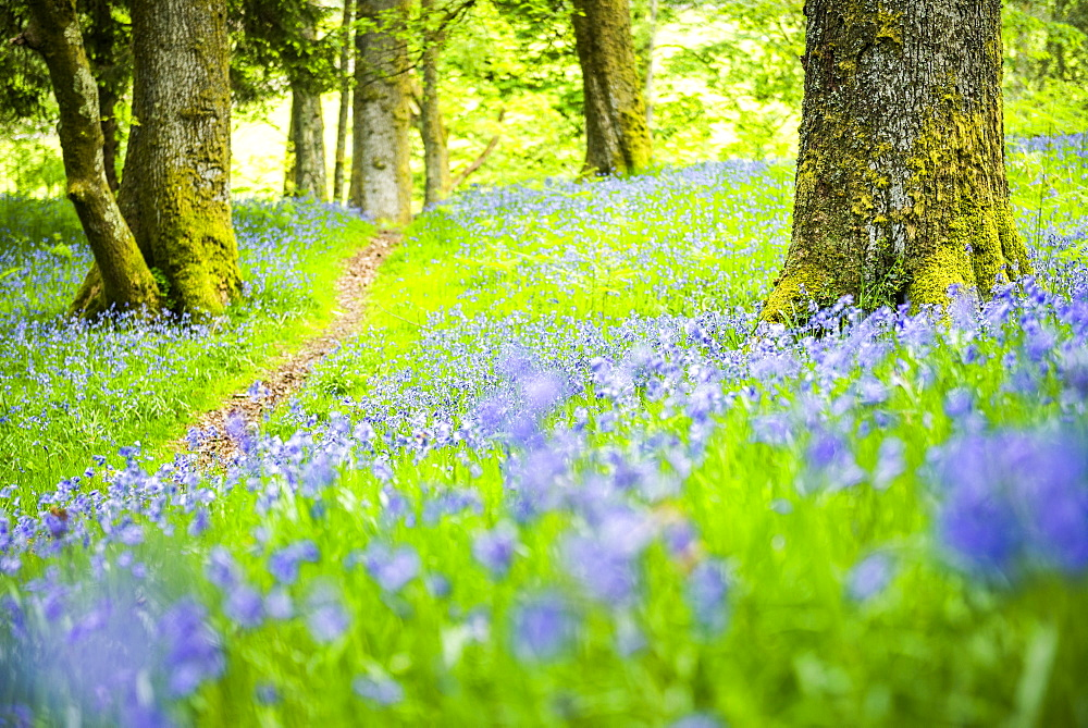 Bluebell woods at Derwent Water, Lake District, Cumbria, England