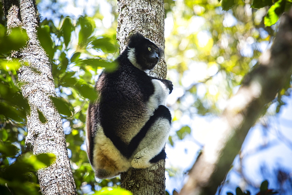 Indri (Indri Indri) Lemur, Andasibe-Mantadia National Park, Madagascar, Africa