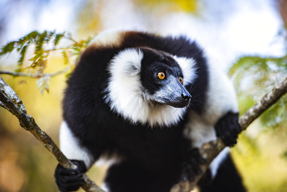 Black and White Ruffed Lemur (Varecia variegata), endemic to Madagascar, Andasibe, Africa