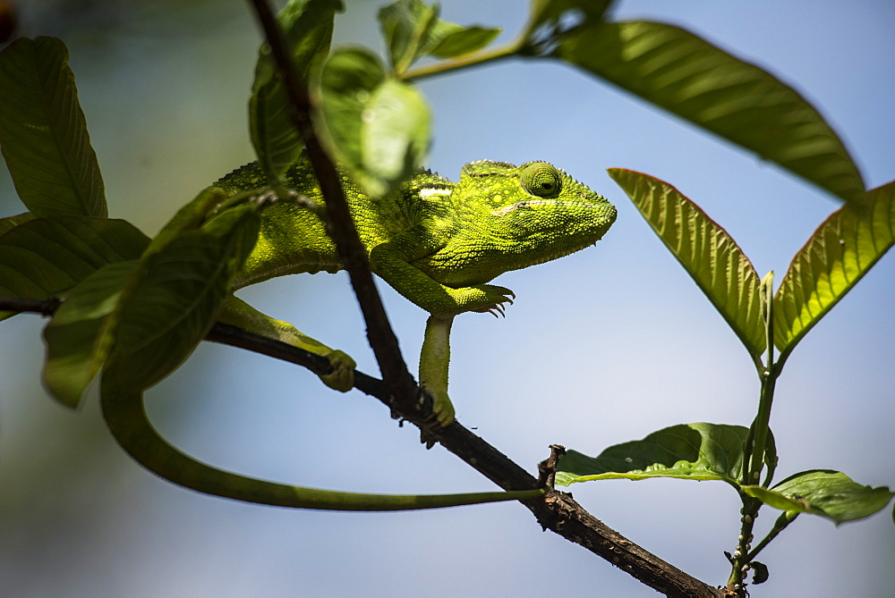 Malagasy Giant Chameleon (Furcifer oustaleti), Anja Community Reserve, Haute Matsiatra Region, Madagascar, Africa - 1109-3536