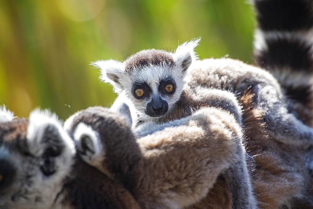 Baby Ring-tailed Lemur (Lemur catta), Anja Community Reserve, Haute Matsiatra Region, Madagascar, Africa