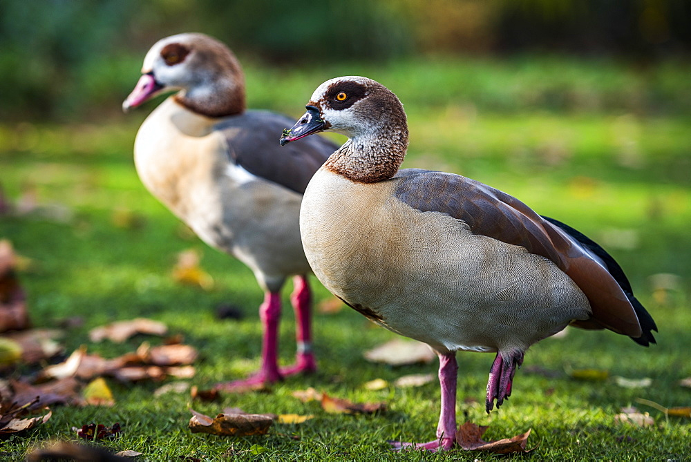 Egytptian Geese in Regents Park, one of the Royal Parks of London, England - 1109-3720