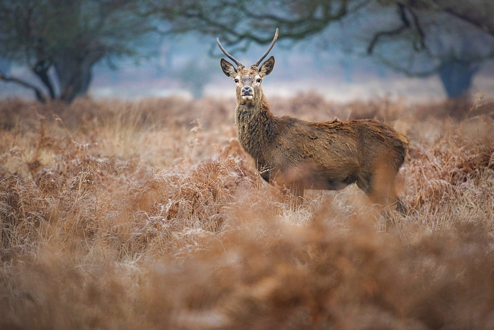 Red Deer (Cervus elaphus) in Richmond Park, London, England - 1109-3727
