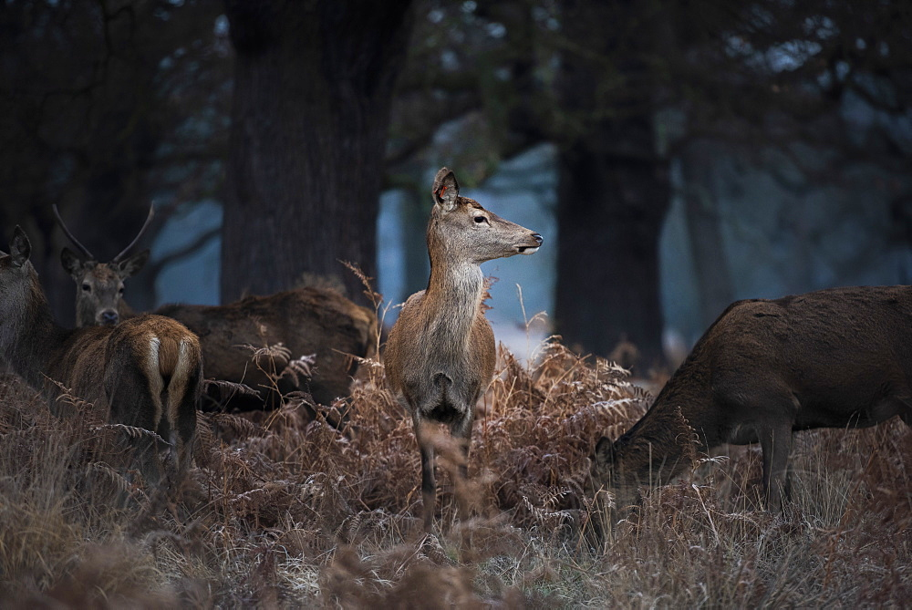 Red Deer (Cervus elaphus) in Richmond Park, London, England - 1109-3728