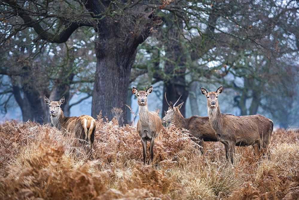 Red Deer (Cervus elaphus) in Richmond Park, London, England - 1109-3729