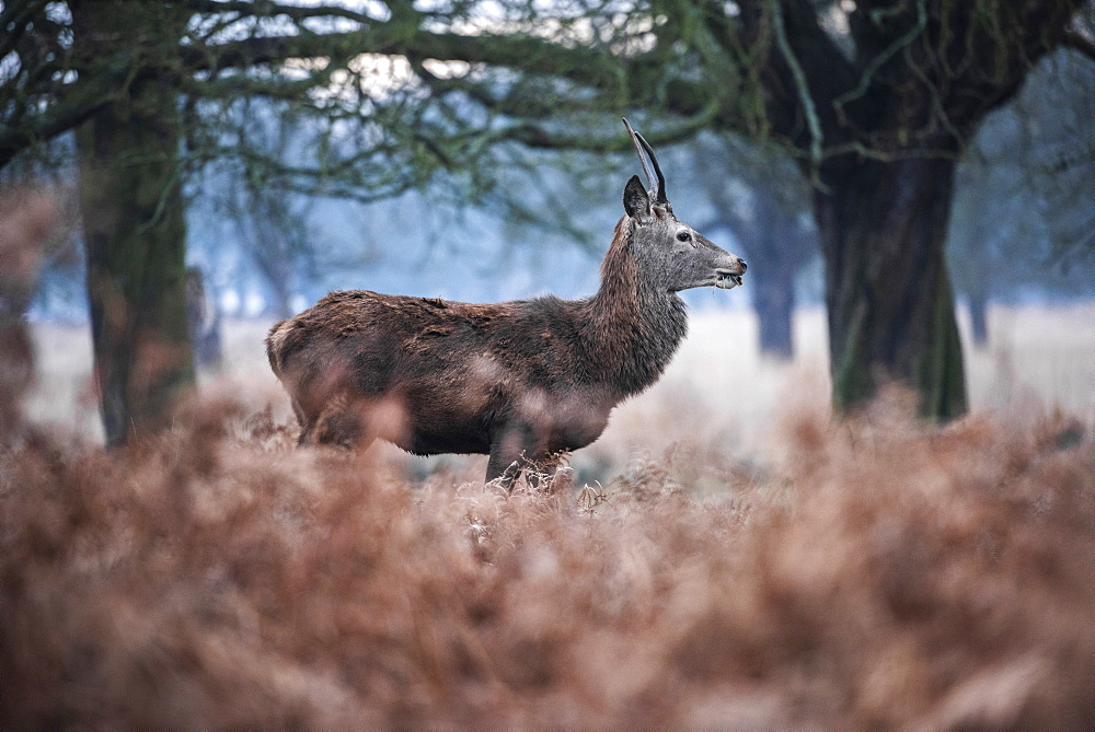 Red Deer (Cervus elaphus) in Richmond Park, London, England - 1109-3731