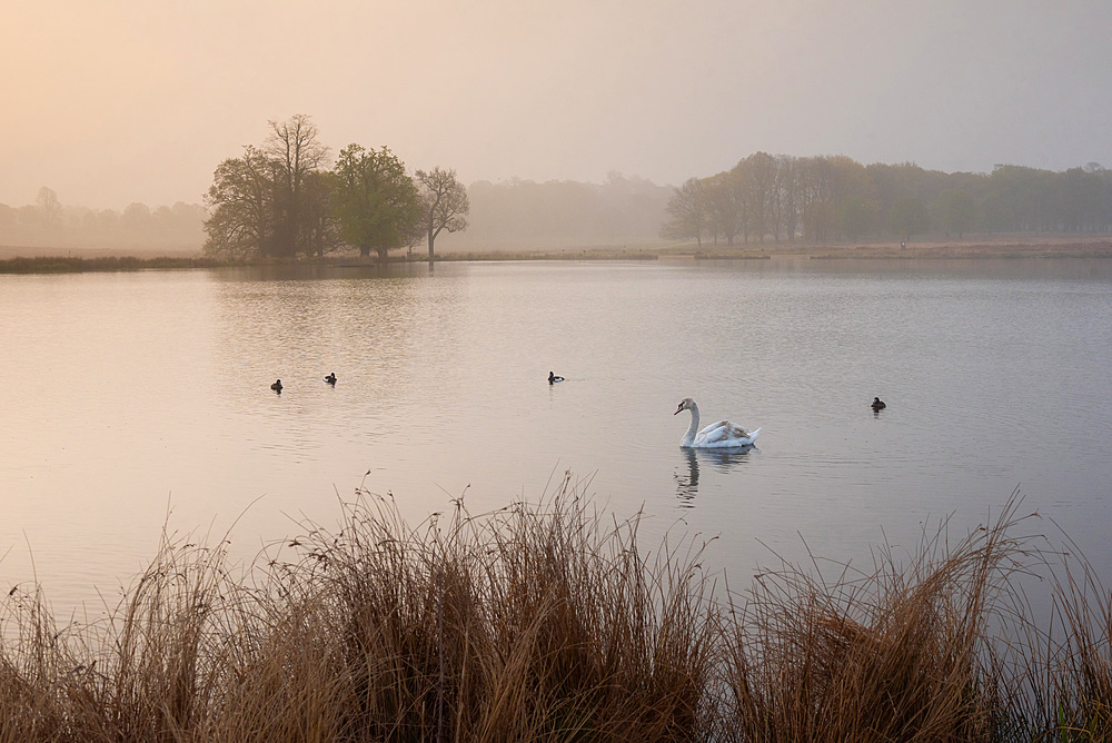 Swan in Richmond Park, at Pen Ponds at sunrise, London, England, United Kingdom, Europe