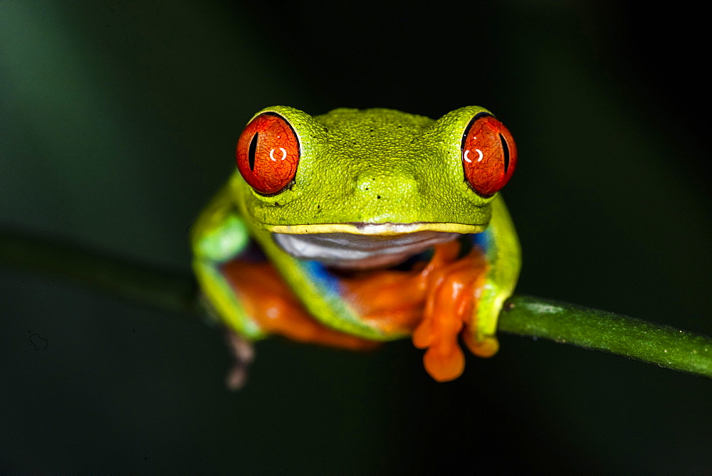 Red-eyed tree frog (Agalychnis callidryas), Sarapiqui, Heredia Province, Costa Rica, Central America