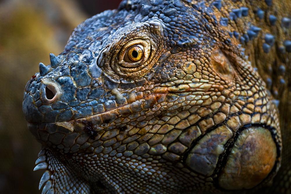 Green iguana (Iguana iguana) near La Fortuna, Arenal, Alajuela Province, Costa Rica