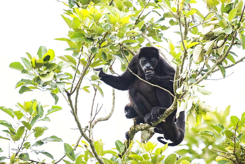 Mantled Howler Monkey (Alouatta palliata), La Fortuna, Arenal, Alajuela Province, Costa Rica, Central America