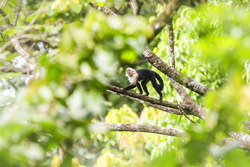 White-headed capuchin (Cebus imitator), Arenal Volcano National Park, near La Fortuna, Alajuela Province, Costa Rica
