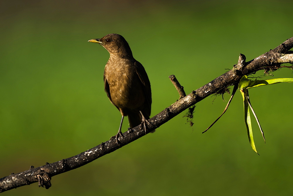 Clay Colored Thrush (Turdus Grayi), the national bird of Costa Rica, seen in Boca Tapada, Alajuela Province