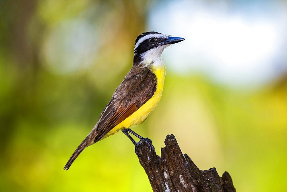 Great Kiskadee (Pitangus Sulphuratus), Boca Tapada, Alajuela Province, Costa Rica, Central America