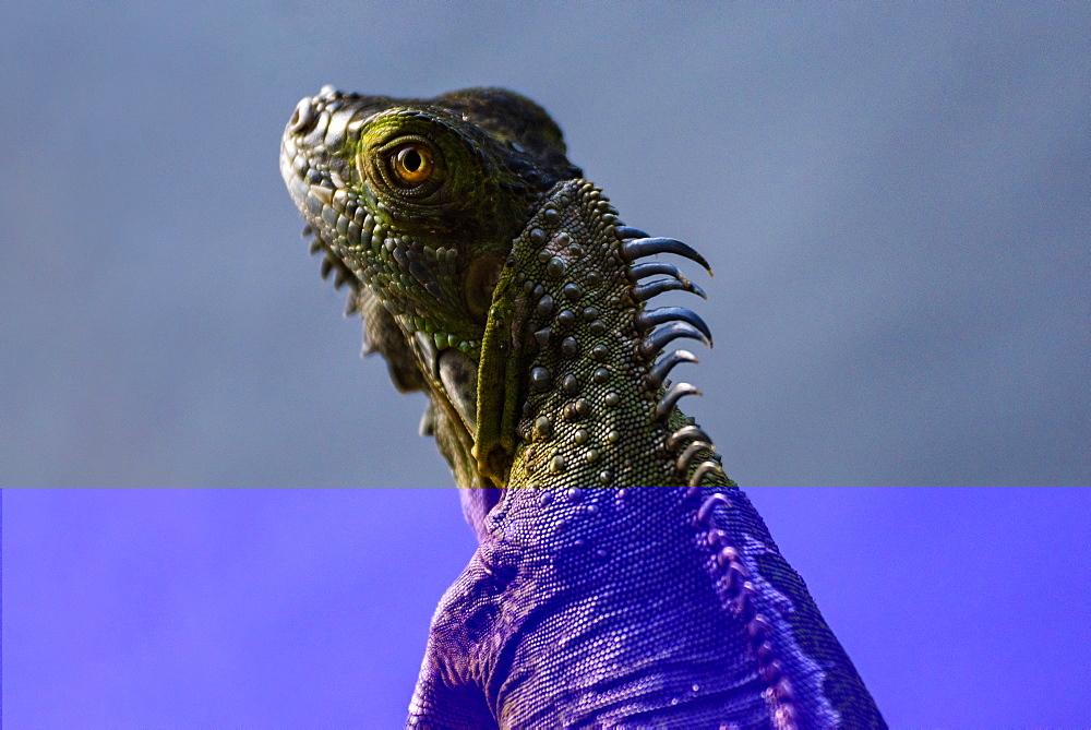 Green Iguana (Iguana Iguana), Boca Tapada, Alajuela Province, Costa Rica, Central America