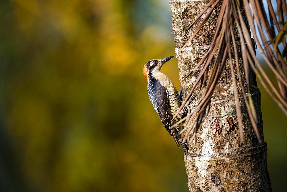 Black cheeked Woodpecker (Melanerpes Pucherani), Boca Tapada, Alajuela Province, Costa Rica, Central America
