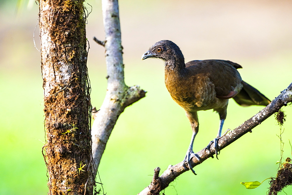 Gray-headed Chachalaca (Ortalis cinereiceps), Boca Tapada, Alajuela Province, Costa Rica, Central America