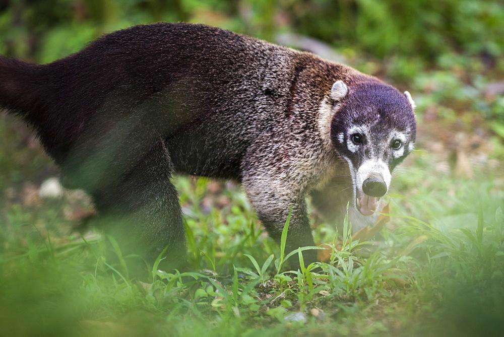 Coati (Nasua Nasua) (Coatimundis), Boca Tapada, Alajuela Province, Costa Rica, Central America
