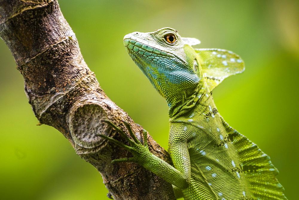 Green Plumed Basilisk Lizard (Basiliscus plumifrons), Boca Tapada, Alajuela Province, Costa Rica, Central America