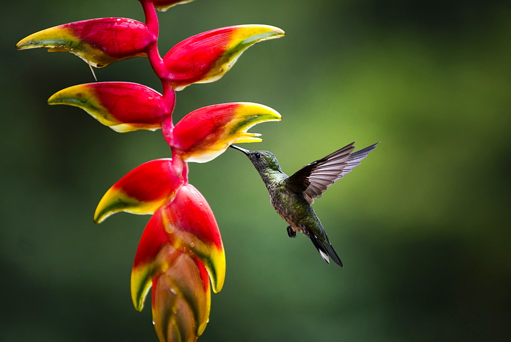White-necked Jacobin (Florisuga mellivora) (Collared Hummingbird), Boca Tapada, Alajuela Province, Costa Rica, Central America