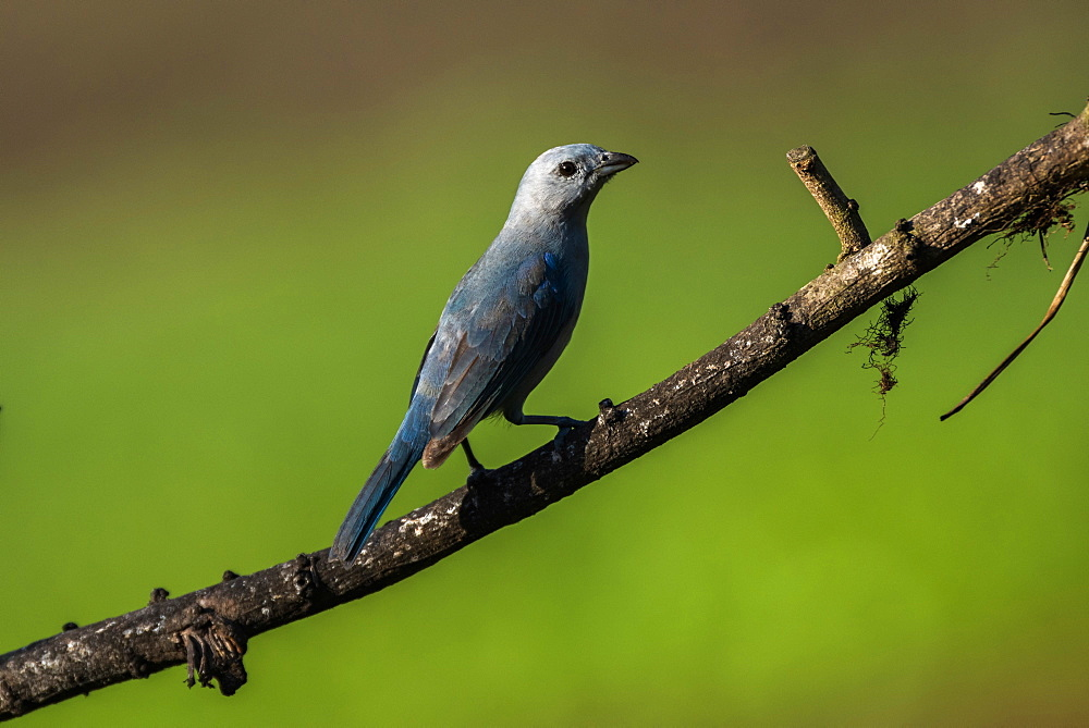 Blue Gray Tanager (Thraupis Episcopus), Boca Tapada, Alajuela Province, Costa Rica, Central America