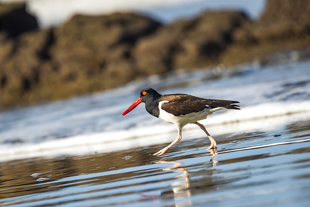 American Oystercatcher (Haematopus palliatus), Playa Arco Beach, Uvita, Marino Ballena National Park, Pacific Coast Costa Rica, Central America