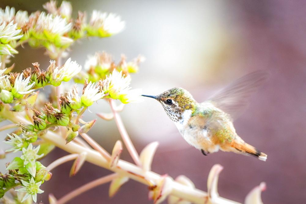 Volcano Hummingbird (Selasphorus flammula), San Gerardo de Dota, San Jose Province, Costa Rica, Central America