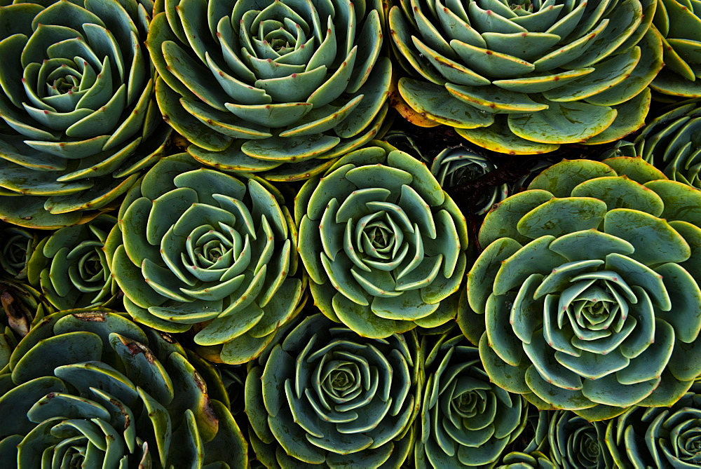 Succulents in the shape of flowers, San Gerardo de Dota, San Jose Province, Costa Rica, Central America - 1109-4105