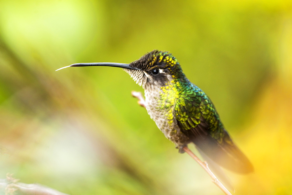 Magnificent Hummingbird (Eugenes fulgens) (Refulgent Hummingbird), San Gerardo de Dota, San Jose Province, Costa Rica, Central America