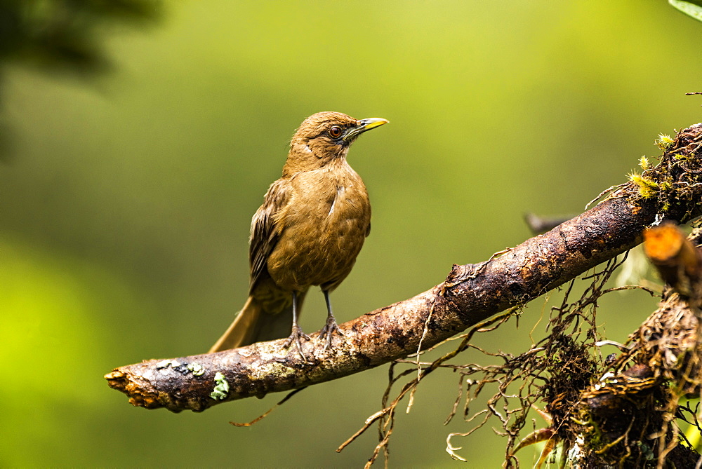 Clay-colored Thrush (Turdus grayi), San Gerardo de Dota, San Jose Province, Costa Rica, Central America