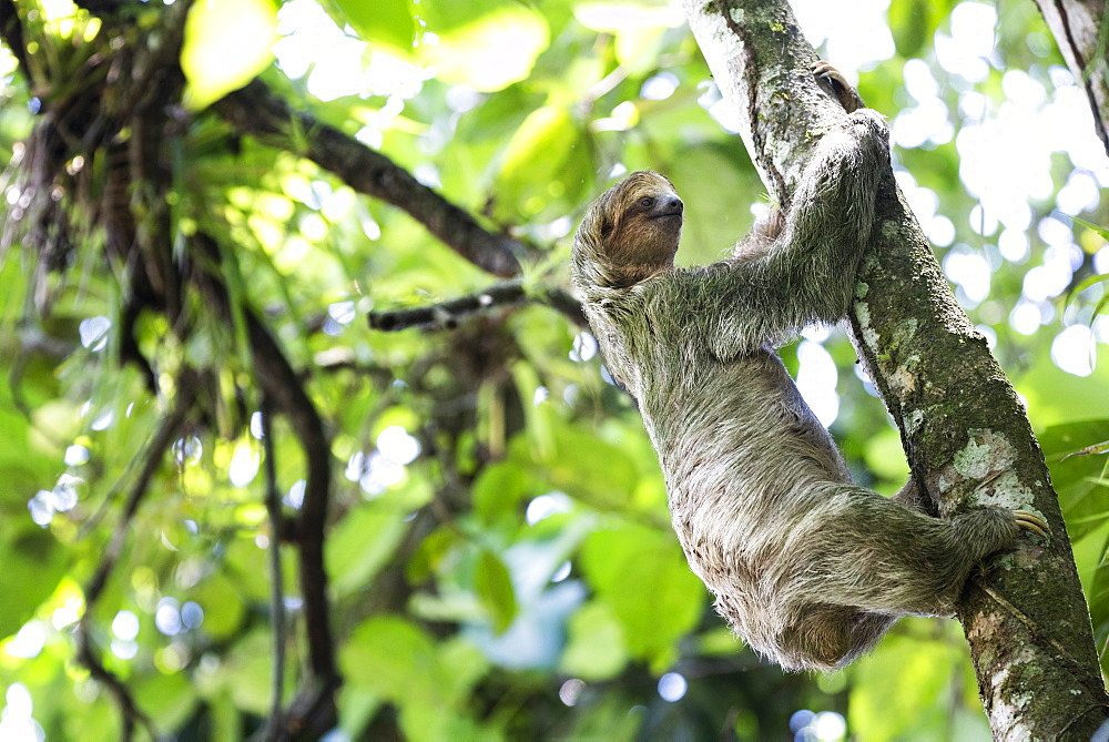 Brown-throated three-toed Sloth (Bradypus variegatus), Tortuguero National Park, Limon Province, Costa Rica, Central America - 1109-4144