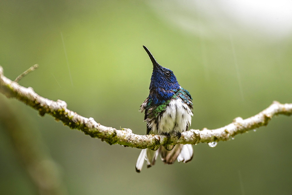 White-necked Jacobin (Florisuga mellivora) in the rain, Turrialba, Cartago Province, Costa Rica